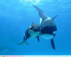Orca Squee!