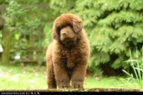 Goggie ob teh Week: Fluffy Puppy!