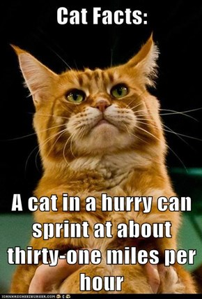 A cat in a hurry can sprint at about thirty-one miles per hour