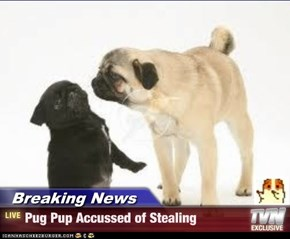 Breaking News - Pug Pup Accussed of Stealing