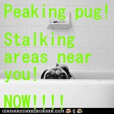 Peaking pug! Stalking areas near you! NOW!!!!