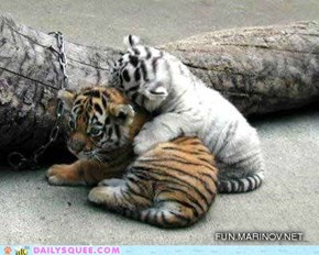 Tiger Cuddle Buddies