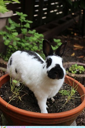 Bunday: Potted Bunny Plant