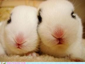 Bunday: Pink Noses