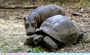 Interspecies Love: Baby Hippo Wants a Shell of His Own