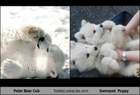 Polar Bear Cub Totally Looks Like Samoyed  Puppy