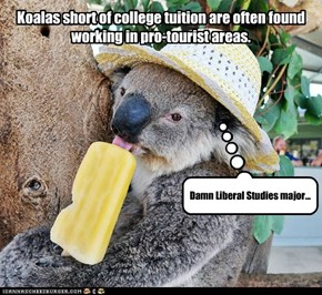 Koalas short of college tuition are often found working in pro-tourist areas.
