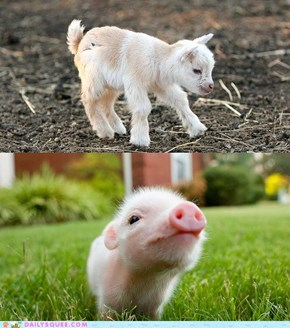 Squee Spree: Goat vs. Pig