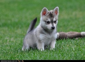 Cyoot Puppy ob teh Day: Alaskan Puppy