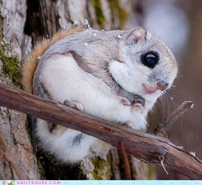 AWWWWWWWW! Siberian Flying Squirrel