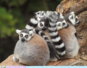 Ringtail Cuddle Puddle