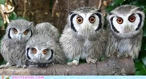 Curious Owlies