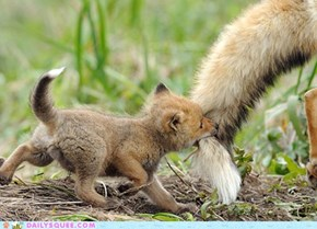 Playful Fox Cub