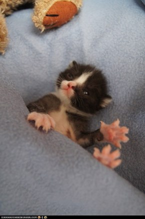 Cyoot Kitteh of teh Day: I May Be Small, But I Can Still Do Some Damage With These Bad Boys!