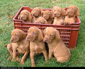 Goggie ob teh Week: Basket of Vizslas!