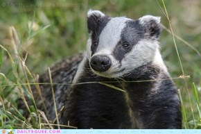 Smiling Badger