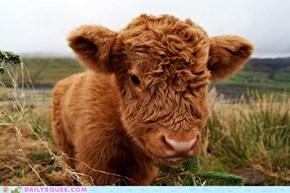 Floofy Calf