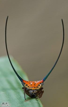 curved spiny orbweaver (Gasteracantha arcuata)