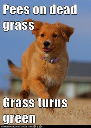 Pees on dead grass  Grass turns green