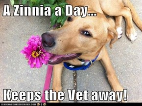 A Zinnia a Day...  Keeps the Vet away!