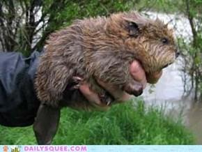 A Handful of Beaver!