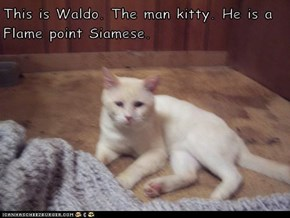 This is Waldo. The man kitty. He is a Flame point Siamese.