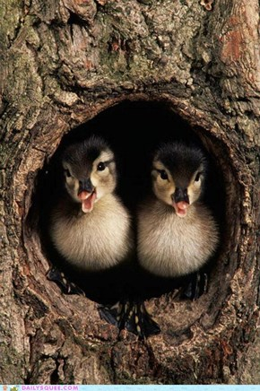 Two Ducklings in a Tree