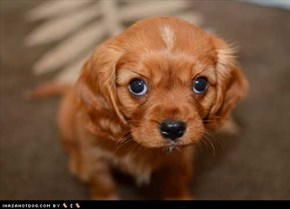 Cyoot Puppy ob teh Day: Caramel