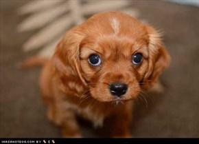 Cyoot Puppy ob teh Day: Caramel