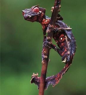 Creepicute: Satanic Leaf Tailed Gecko