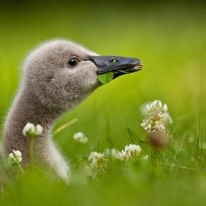 Black Baby Swan