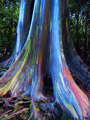 This Eucalyptus Tree Is Not Painted