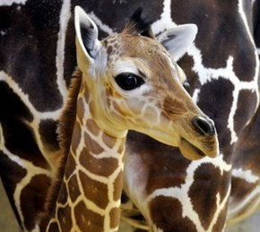 Squee Spree: Giraffe Victory!