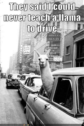 They said I could never teach a llama to drive