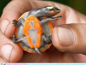 Turtle haz a tinee