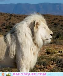 Fully Grown Male Albino Lion!