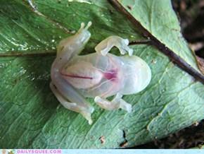 Creepicute: See-Through Frog