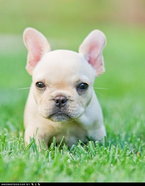 Cyoot Puppy ob teh Day: Lil Frenchie