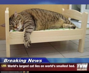 Breaking News - World's largest cat lies on world's smallest bed.