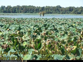 Lily pad field. Reelfoot Lake, TN    09/10/12          wally01