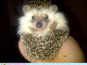 Fluffy Hedgie!