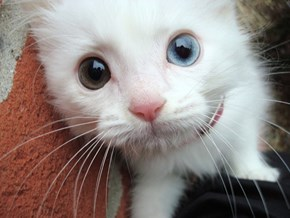 Cyoot Kitteh of teh Day: Heterochromia Cutie