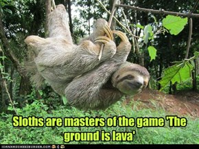 Sloths are masters of the game 'The ground is lava'