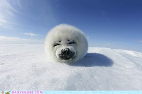 Happy Harp Seal