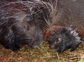 Squee Spree: Porcupines Win!