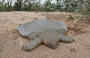 Whatsit: Flat Turtle