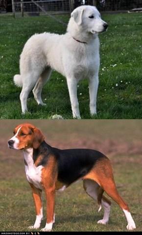 Goggie ob teh Week FACE OFF: Akbash Dog vs. Hamiltonstovare