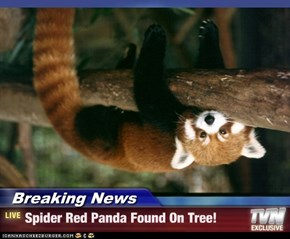 Breaking News - Spider Red Panda Found On Tree!