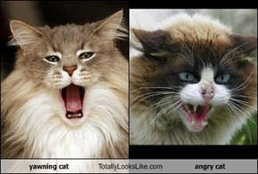 yawning cat Totally Looks Like angry cat