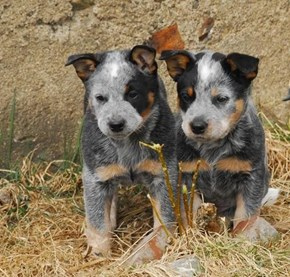 Cyoot Puppy ob teh Day: Lil Aussies